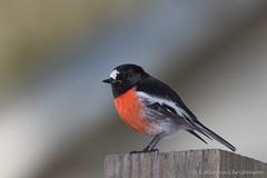 Scarlet robin male (kasia-aus) Tags: nature animal australia canberra