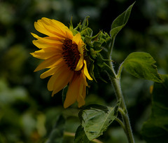 Shyly Sunny (TPorter2006) Tags: brown flower field yellow golden texas july sunflower hillsboro 2015 aquilla tporter2006