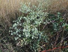 Chardon, mais pas  Rubempr (xavnco2) Tags: france thistle herbe picardie mauvaise chardon somme lamottebrebire