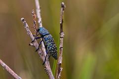 Drummond's Blue-footed Bup (Stephen J Pollard (Loud Music Lover of Nature)) Tags: beetle escarabajo bluebeetle jewelbeetle metallicwoodboringbeetle escarabajoazul drummondsbluefootedbup escarabajobarrenador lampetisdrumondi lasierradeloschisos
