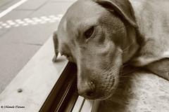 Modella assonnata (manuelacaruana) Tags: dog cane sleep tired siria stanca