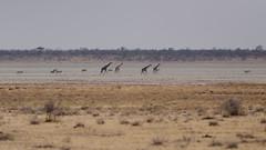 Wild Namibia (C McCann) Tags: etosha namibia pan giraffe oryz zebra animals wildlife wild safari national park zoom