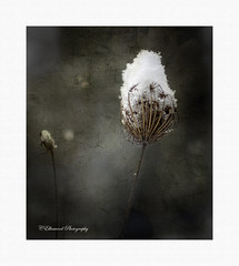Cracks in the Patina (windshadow2) Tags: queen annes lace snow flower