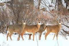 white-tailed deer does near Lime Springs IA 854A9722 (lreis_naturalist) Tags: whitetailed deer does lime springs howard county iowa larry reis
