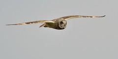 Short-eared Owl (Asio flammeus) (Bob Eade) Tags: shortearedowl sussex owl winter raptor birds wildlife nikon nature