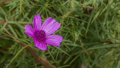Flower - Çiçek (Street Parrot) Tags: spring nature green pink botanical flower pentax k10d çiçek