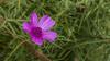 Flower - Çiçek (omardaing) Tags: spring nature green pink botanical flower pentax k10d çiçek