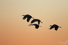 Sunrise silhouettes (Squirrel Girl cbk) Tags: 2016 bosquedelapachenwr gruscanadensis newmexico november sandhillcranes sanantonio unitedstates us bird explore