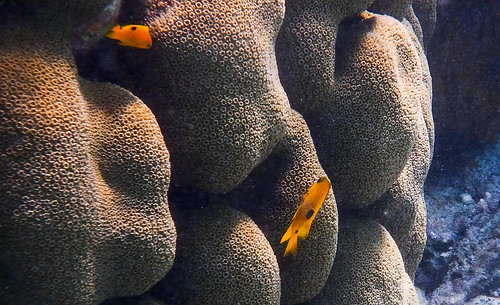 Juvenile Three-spot Damselfish and star coral