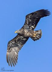Juvenile Bald Eagle in flight. (Estrada77) Tags: nikon 200500mm december 2016 bald eagle raptors distinguishedraptors wildlife fishing flight fox river