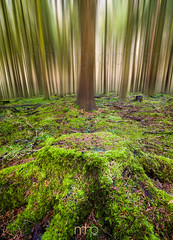 Cod Beck Conifers (M Hillier) Tags: codbeck reservoir conifers trees tree stump blur photoshop northyorkmoors nationalpark green forest wood woodland moss overgrown osmotherley yorkshire wildlife nature landscape winter lush colour