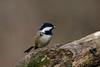 _F0A7735.jpg (Kico Lopez) Tags: carbonerogarrapinos galicia lugo miño parusater spain aves birds rio