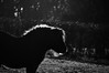 backlit shetland (frejapetrie) Tags: frejapetriephotography frejapetrie horse shetland pony equine bandw backlit carmarthenshire animal december nikon d3200