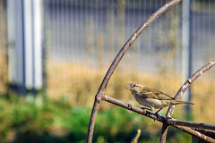 I didn't do it (AmalecHACK) Tags: sparrow gorrión chile chimbarongo ave bird amalecadrove amalec adrove naturephotography nikon d3300 200mm