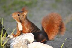 Sciurus vulgaris - Ardilla roja (Bichos Y Verde) Tags: squirrel sciurusvulgaris ardillaroja sciurus ardilla madrid casadecampo rodentia roedor