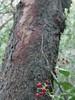 IMG_2465 (AnkaKarewicz) Tags: toyon berry