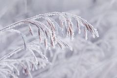 (gabriella.hafner) Tags: zúzmara winter tél nikon hideg cold macro hungary