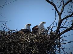 African Fish Eagle (Haliaeetus vocifer) (mat.breiten) Tags: african fish eagle haliaeetus vocifer bird kenya baringo