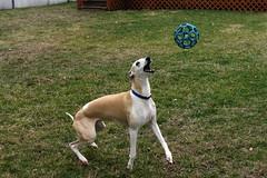Eye on the Ball (DiamondBonz) Tags: spanky hound whippet gotcha day play dog pet