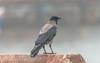 The look out (davidrhall1234) Tags: hoodedcrow crow coastal coast corvid wildlife world nature nikon nikond7100 birds bird birdsofbritain feather