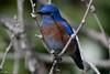 Western Bluebird (Tom Nord) Tags: bluebird westernbluebird bird lacountyarboretum arboretum botanicalgardens