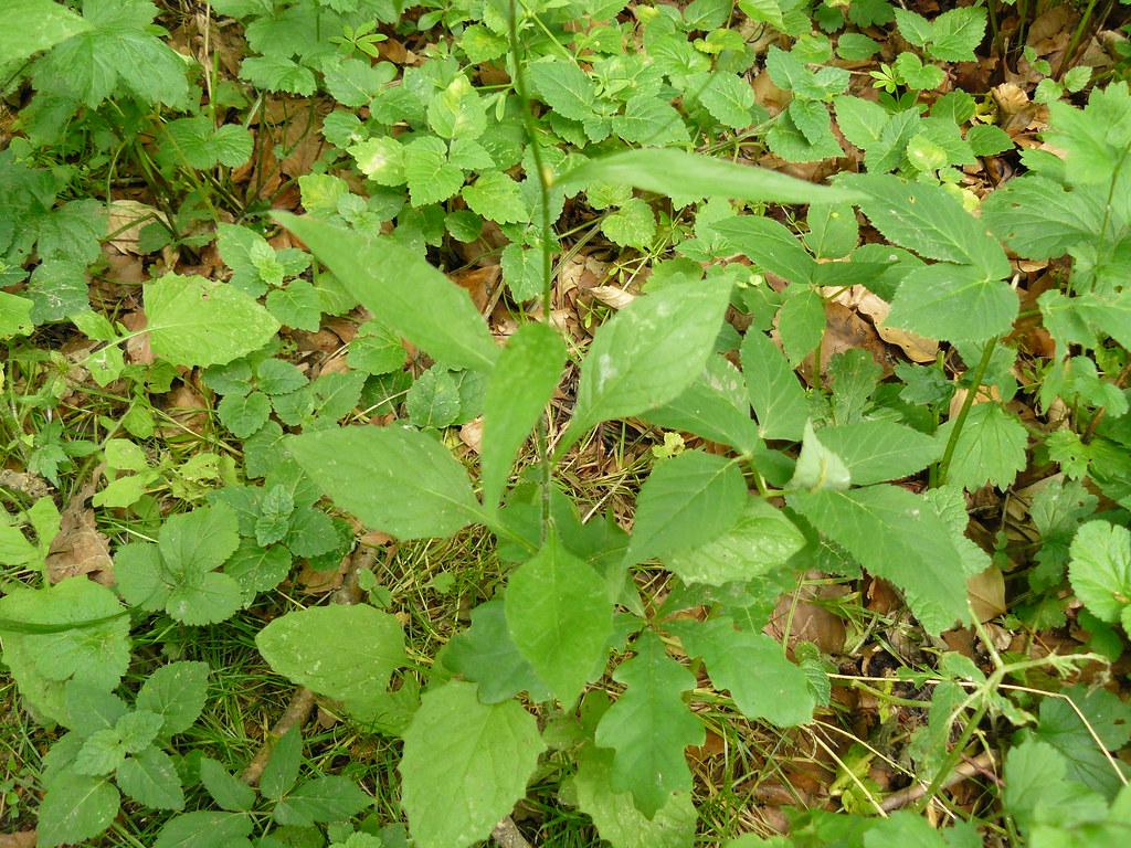 Hieracium murorum-3