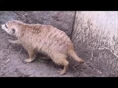 Meerkat (KaylaLisa) Tags: meerkat mongoose animals zoo video california san diego sandiego daytrip canon powershot gang clan insectivores