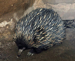 Echidna (Schwanzus_Longus) Tags: spines animal australia claws cute duisburg echidna funny german germany long mouth odd small snout tongue zoo spiny ameisenigel