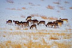 Fallow Deer (eric robb niven) Tags: ericrobbniven scotland fallow deer dundee dunkeld wildlife