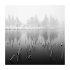 snow and lotus (StephenCairns) Tags: lakebiwa shigaprefecture pond winter snow lotus lotusstems snowing diffusion