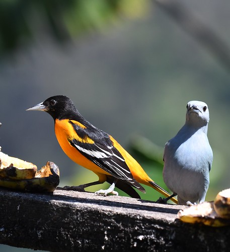 Baltimore Oriole, Costa Rica travel with Birdsafarisweden-res