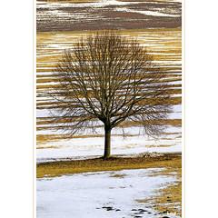 Frühlingsbaum (horstmall) Tags: tree arbre baum solitär solitaire solitary snowmelt schneeschmelze fontedesneiges frühling spring printemps gestreift striped rayé inderau römerstein donnstetten zainingen häsel hesel winter hiver schwäbischealb jurasouabe swabianalps horstmall