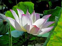 summer lotus (oneroadlucky) Tags: nature plant flower pink lotus waterlily