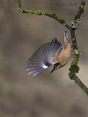 The eurasian Nuthatch. (wayne24185071) Tags: nuthatch wild bird wildlife eurasian wings feathers take off canon 1dx