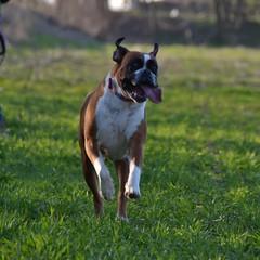 Happy dog (mikdm1) Tags: happydog dog dogphotography boxer lovedog mydog