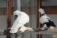 24. Caucasian doves / Голуби Кавказские