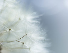 Whispered Wishes (Captured Heart) Tags: white macro whimsy soft dandelion heavenly mostlywhite macromondays