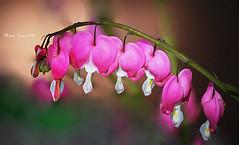 Bleeding Hearts Flowers in My Garden (mariagrandi985) Tags: pink flowers garden spring magenta bleedingheartsflowers oldgardenfavorite