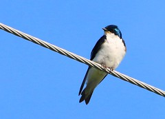 tree swallow male near Lime Springs IA 854A4824 (lreis_naturalist) Tags: county tree howard reis iowa larry springs lime swallow