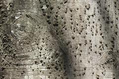 Um outro mundo (Ha1000) Tags: tree texture textura explore bark trunk tronco rvore paineira espinho casca coarse ceibaspeciosa prickel spero