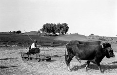 02_Egypt - Threshing Straw (usbpanasonic) Tags: farmers northafrica muslim islam egypt culture straw nile cairo hay nil egypte islamic مصر ploughing caire moslem egyptians misr qahera masr egyptiens kahera