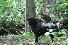 in the woods (Willie Kalfsbeek) Tags: trees dog green alaska forest canon woods ak willie kalfsbeek