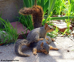 Separation Anxiety Part 10 (Kaptured by Kala) Tags: baby nature concrete squirrel squirrels mother sidewalk motherandbaby babysquirrel separationanxiety foxsquirrel garlandtexas mothersquirrel babyfoxsquirrel