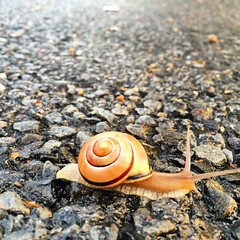 #life in #slow #motion. #snail crossing a #street after the rain. (i Catch) Tags: square squareformat iphoneography instagramapp uploaded:by=instagram