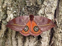 Automeris tridens (Female) (Lepsibu) Tags: saturniidae