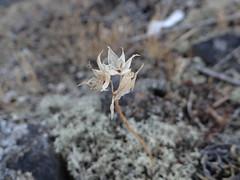 Taper-tip Onion in Late Summer (corey.raimond) Tags: plant flora pacific onion wildflower lopezisland icebergpoint alliumacuminatum rockybluff coastalbluff tapertip