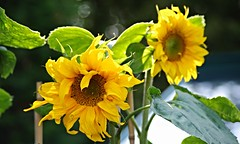 Number two has now opened (Blue Sky Pix) Tags: flowers sunshine yellow pentax depthoffield sunflowers tall growing helianthus derbyshireengland