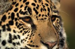 jaguar Krefeld JN6A1421 (j.a.kok) Tags: jaguar krefeld mato miranda mammal kat cat pantheraonca zoogdier predator animal