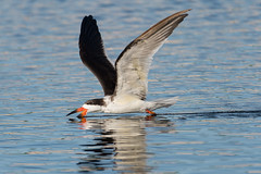 20161218-DSC_2870 (adbecks) Tags: florida nikon d500 200500 black skimmer wildlife action skimming