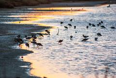 Avifauna en marismas de Carboneros (Miguel Sanchez Arteche) Tags: fauna marismas puestasdesol